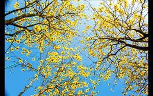 一树繁华,满目黄金,叠叠花影在斑驳的阳光下更显灵动,柔美。